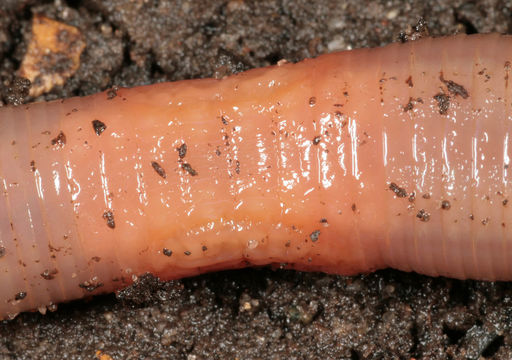 Image of Earthworm