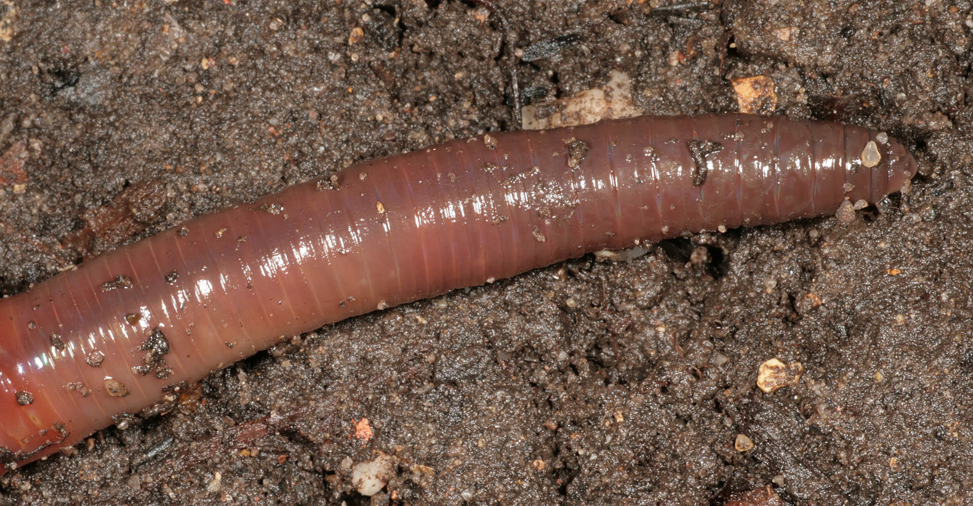 Image of Earthworm