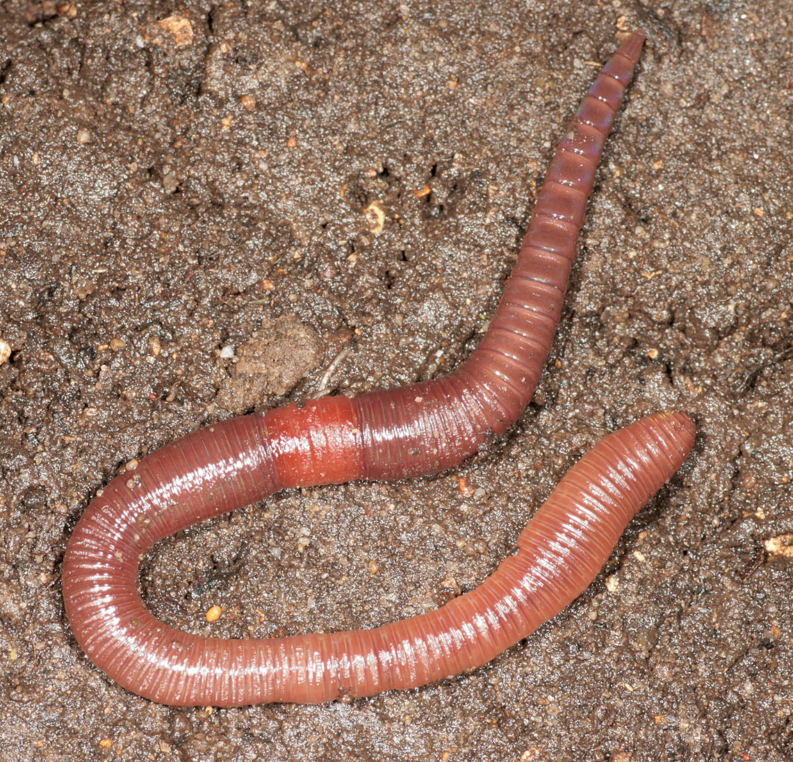 Image of red marshworms