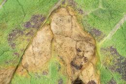 Image of <i>Pyrenopeziza brassicae</i> B. Sutton & Rawl. 1979