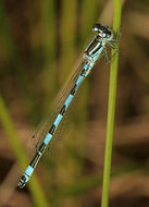 Image of Southern Damselfly