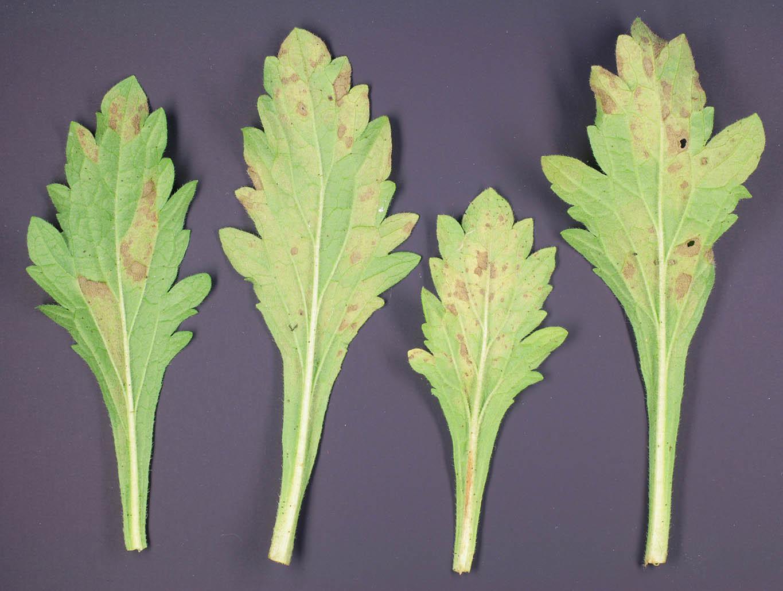 Image of <i>Peronospora verbenae</i>