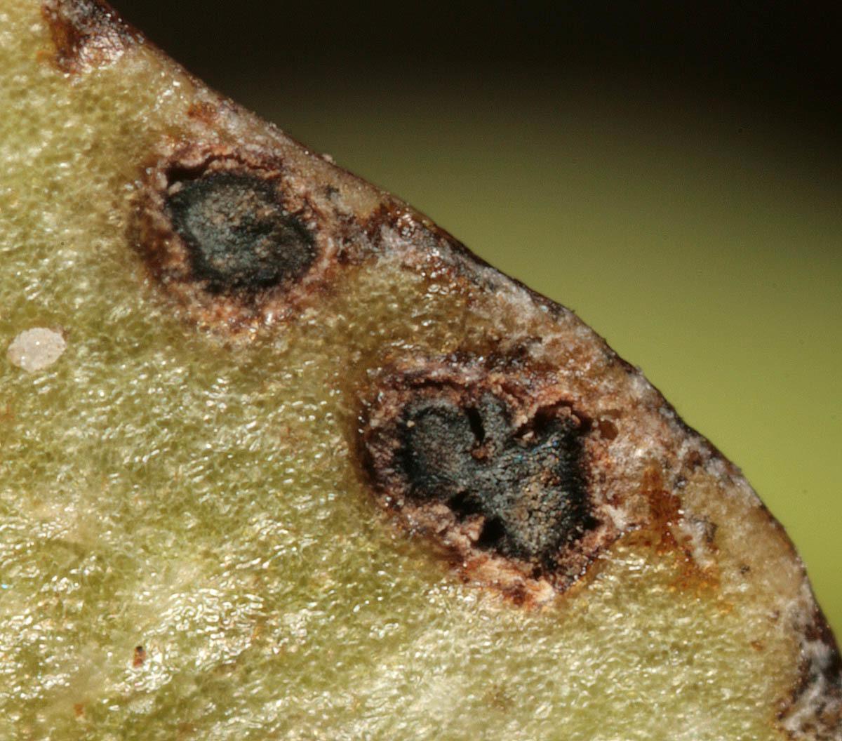 Image of <i>Tuberculina persicina</i> (Ditmar) Sacc. 1881
