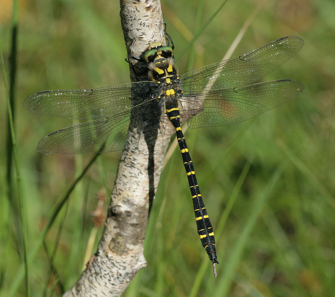 Image of Golden-ringed Dragonfly
