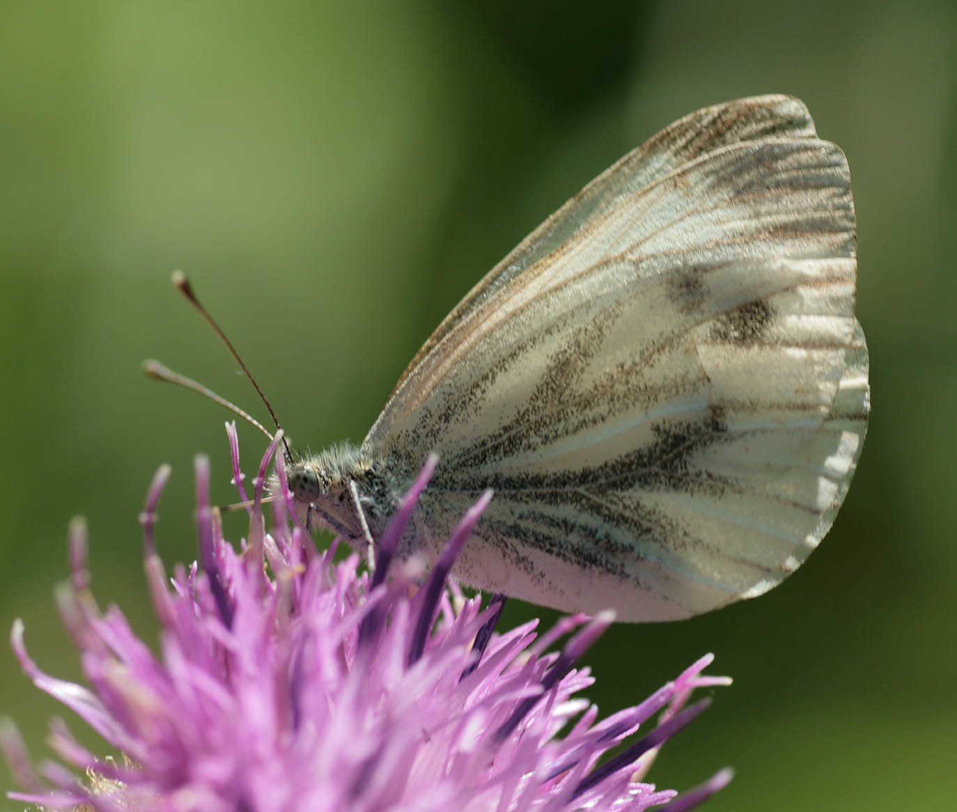 Image of green-veined white