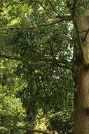 Image of <i>Loranthus europaeus</i> Jacq.
