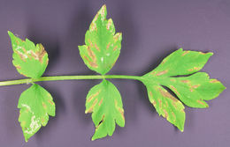 Image of <i>Peronospora arborescens</i>