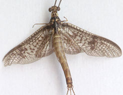Image of Common Mayfly