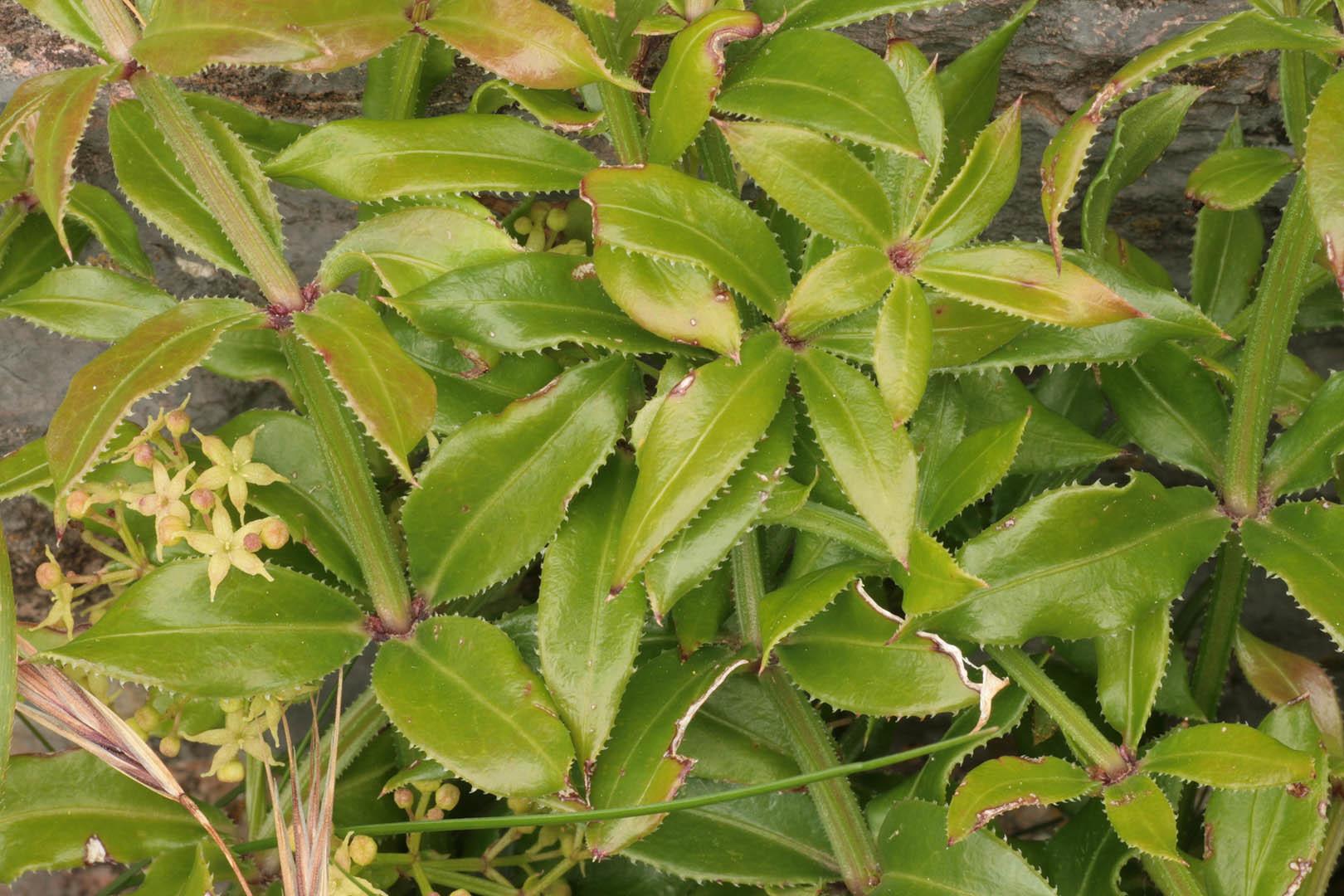 Image of <i>Rubia peregrina</i> L.