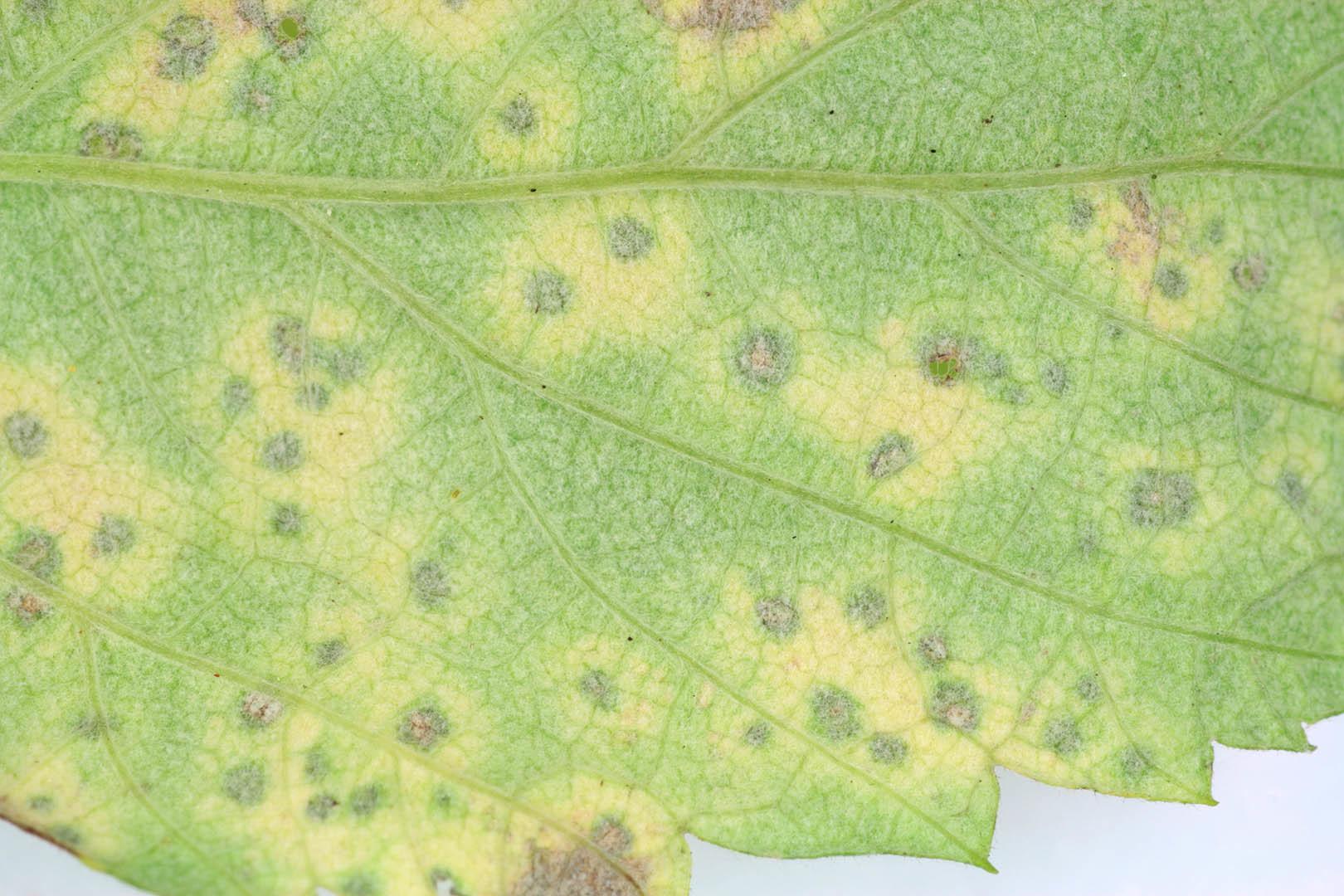 Image of <i>Coleroa chaetomium</i> (Kunze) Rabenh. 1850