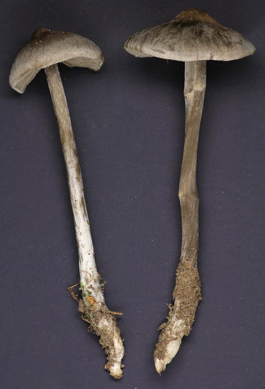 Image of <i>Tephrocybe rancida</i> (Fr.) Donk 1962