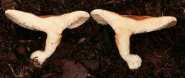 Image of <i>Hygrophoropsis pallida</i> (Peck) Kreisel
