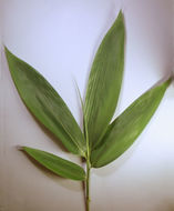 Image of broadleaf bamboo