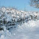 Image of <i>Broadleaved trees</i> and shrubs