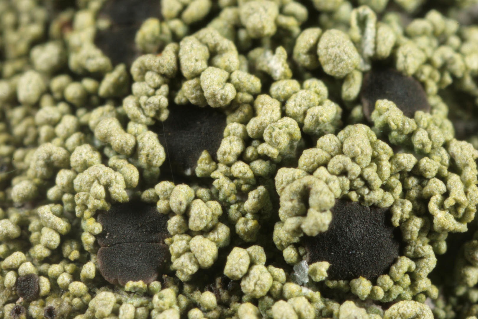 Image of <i>Fuscidea lightfootii</i> (Sm.) Coppins & P. James