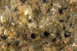 Image of <i>Polyblastia philaea</i> Zschacke