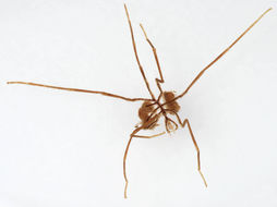 Image of Sea-spider