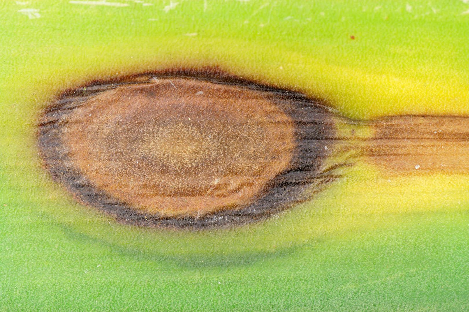 Image of <i>Microsphaeropsis concentrica</i>