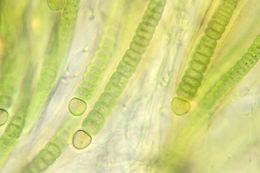 Image of <i>Rivularia bullata</i> Berkeley ex Bornet & Flahault 1886