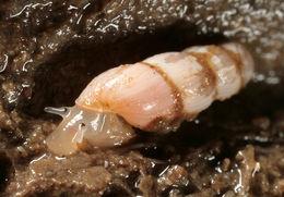 Image of looping snail