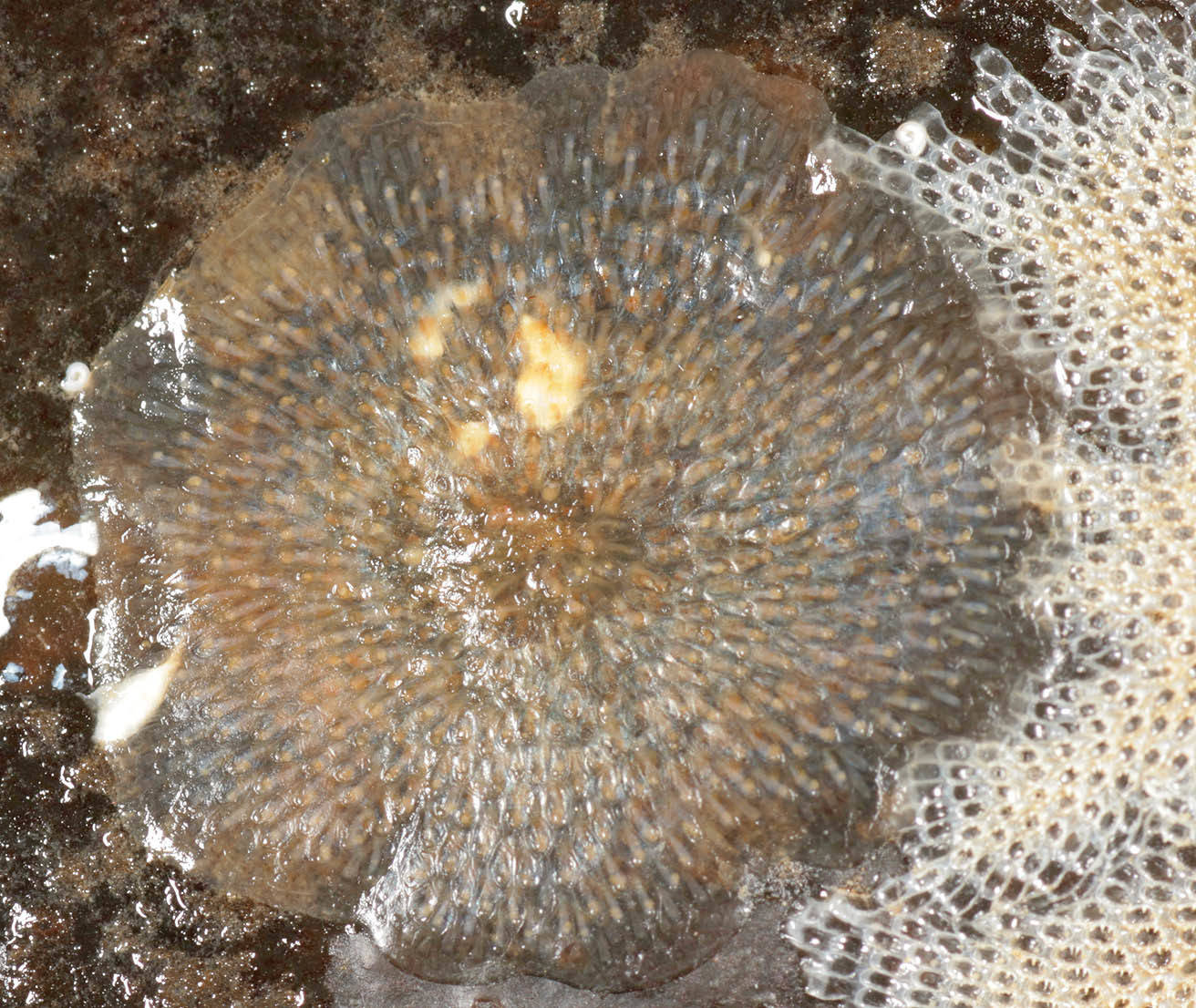 Image of <i>Alcyonidium gelatinosum</i> (Linnaeus 1761)