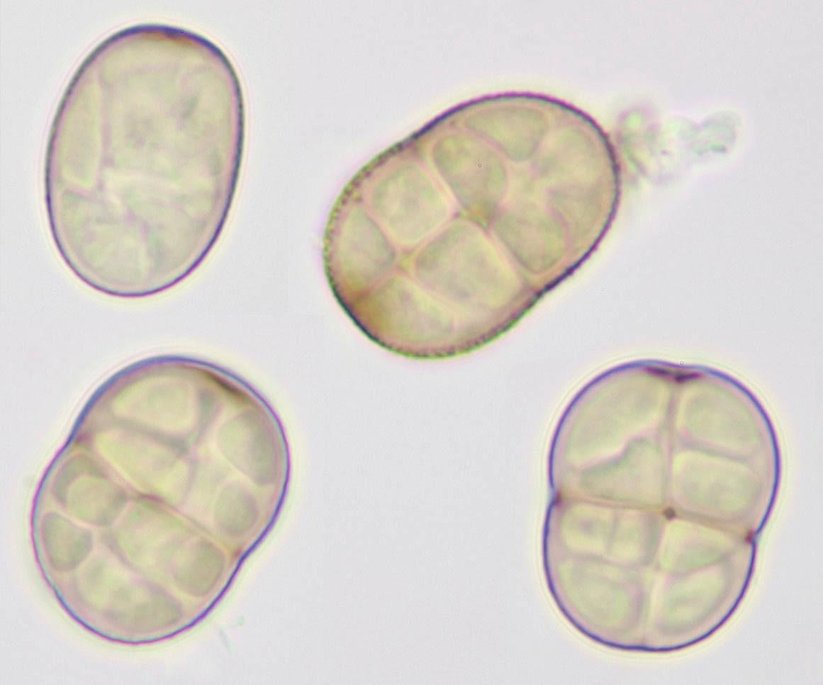 Image of <i>Pleospora herbarum</i>