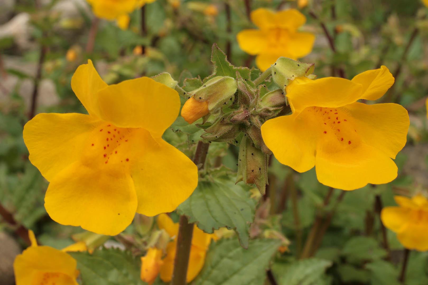 Image of Monkeyflower