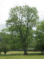 Image of European ash