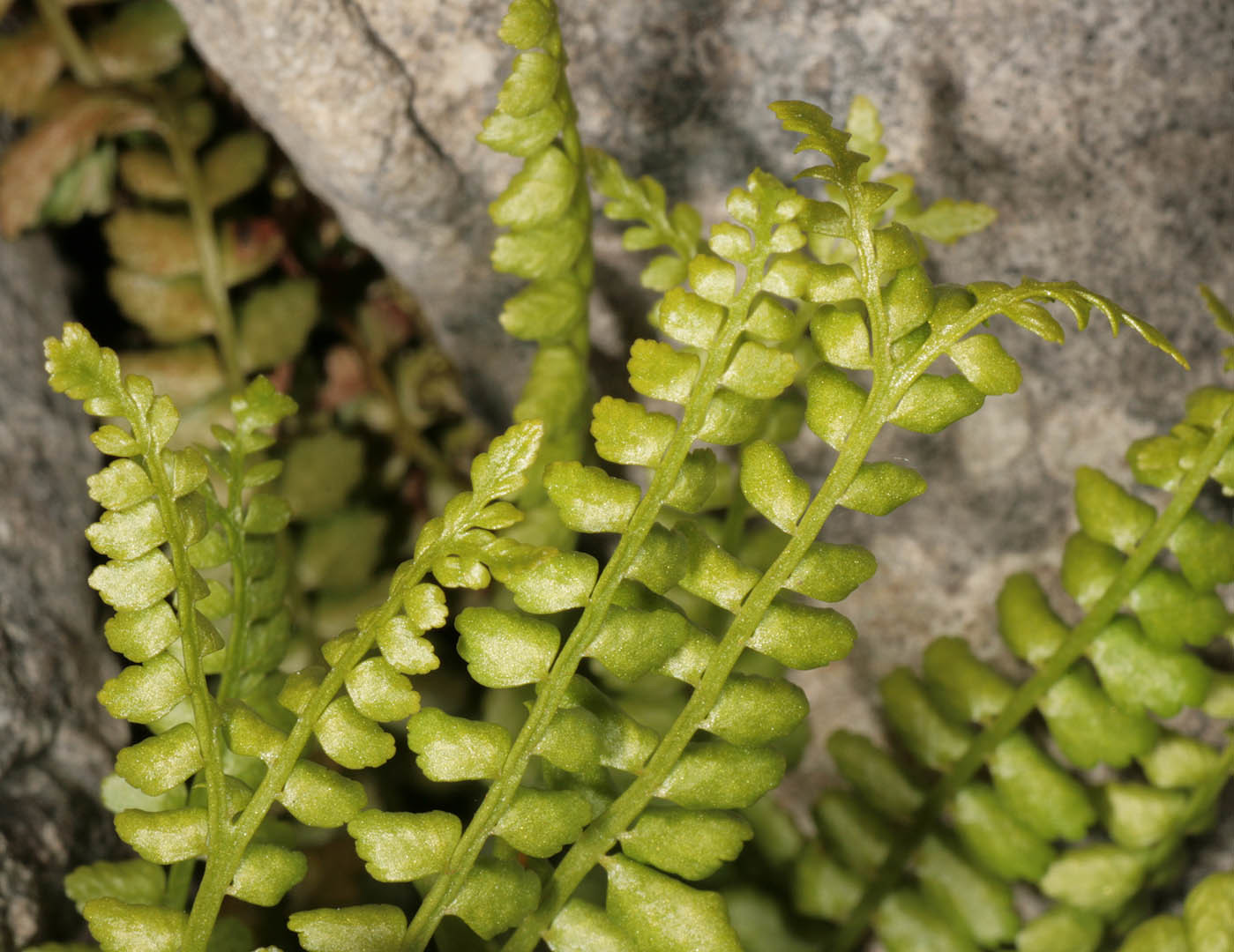 Image of Green spleenwort