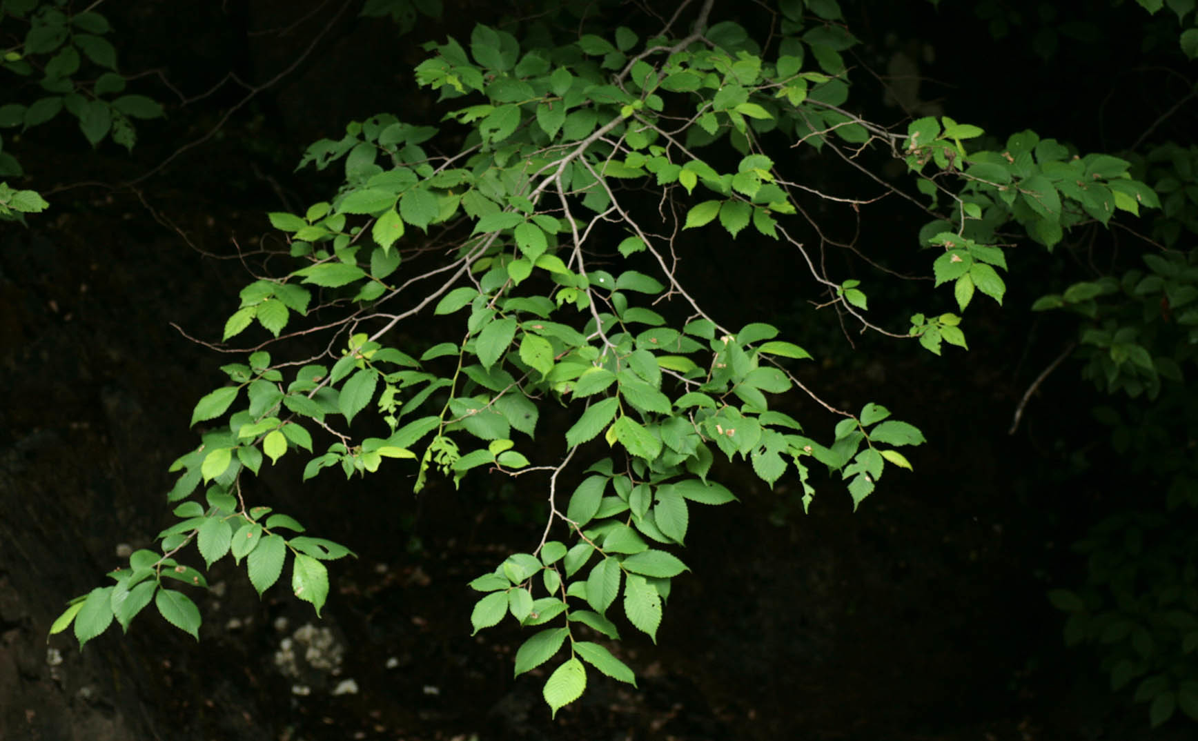 Image of Wych elm