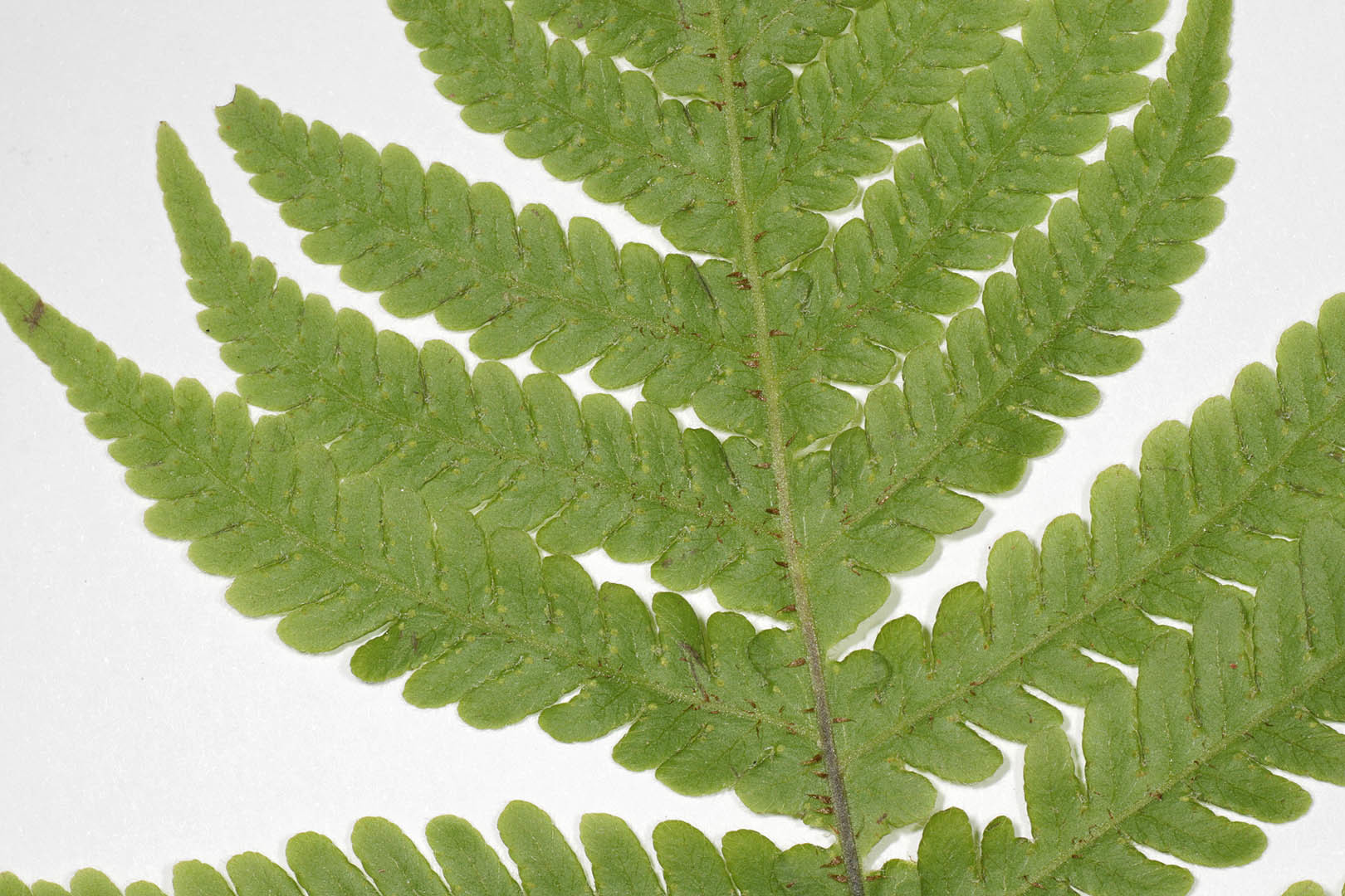 Image of Beech Fern