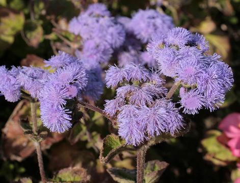 Image of blue billygoat weed