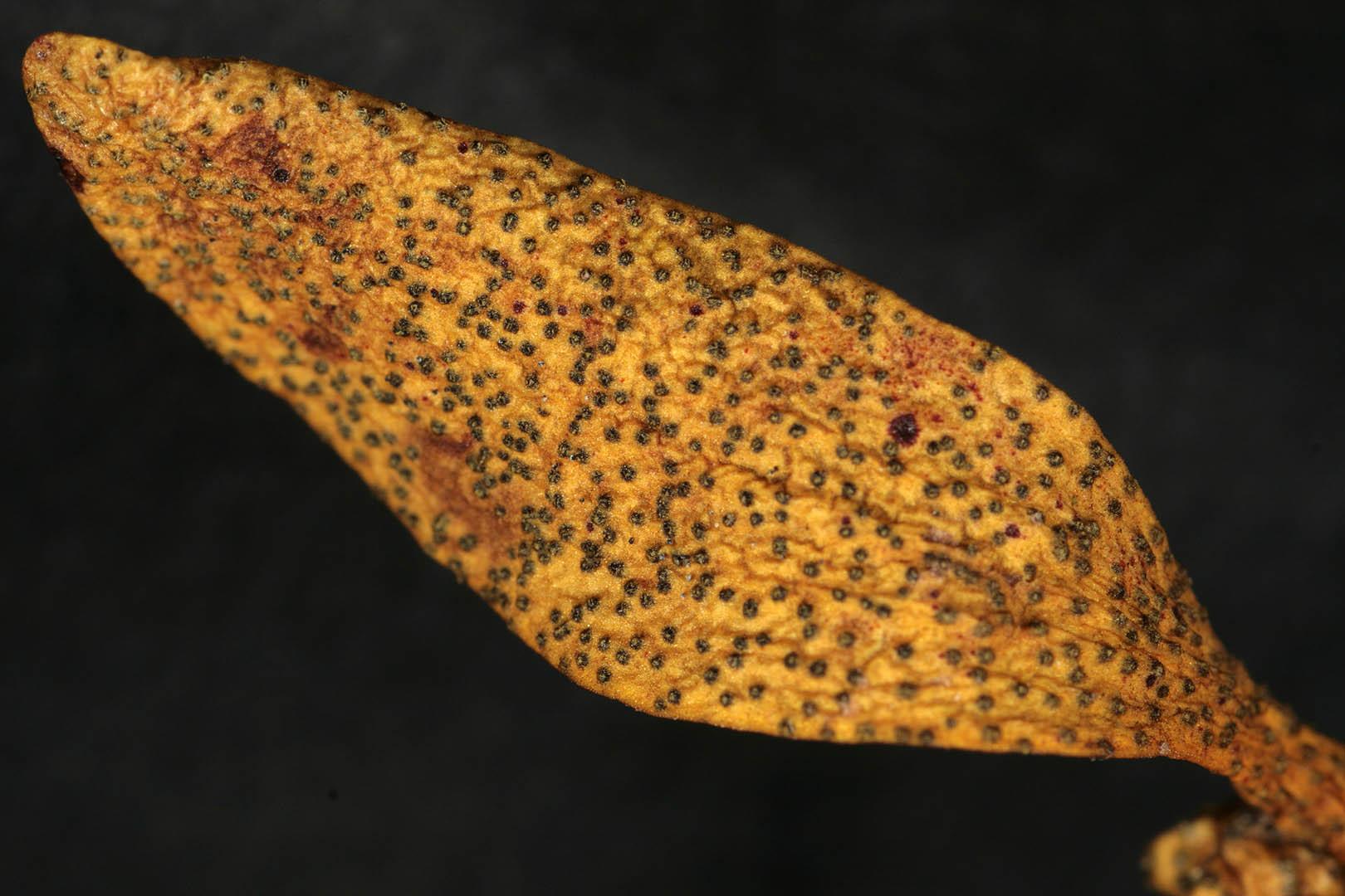 Image of <i>Phaeobotryosphaeria visci</i> (Kalchbr.) A. J. L. Phillips & Crous 2008