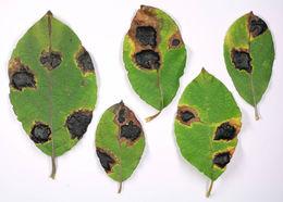 Image of <i>Rhytisma salicinum</i> (Pers.) Fr. 1823