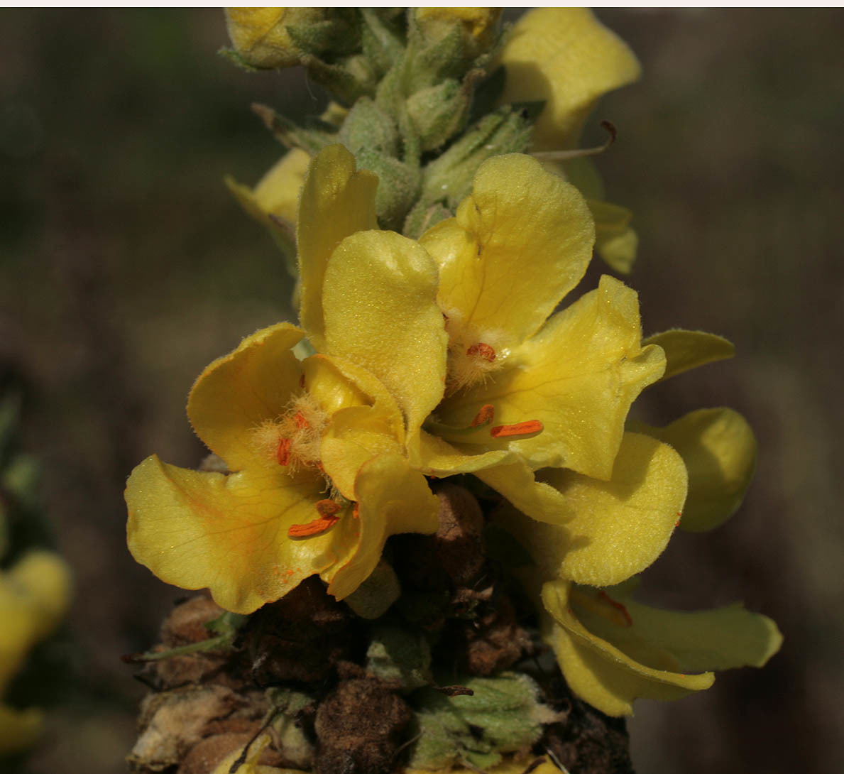 Image of denseflower mullein