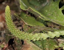 Image of <i>Plantago major</i> ssp. <i>intermedia</i> (Gilib.) Lange