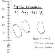Image of <i>Coprinellus domesticus</i> (Bolton) Vilgalys, Hopple & Jacq. Johnson 2001