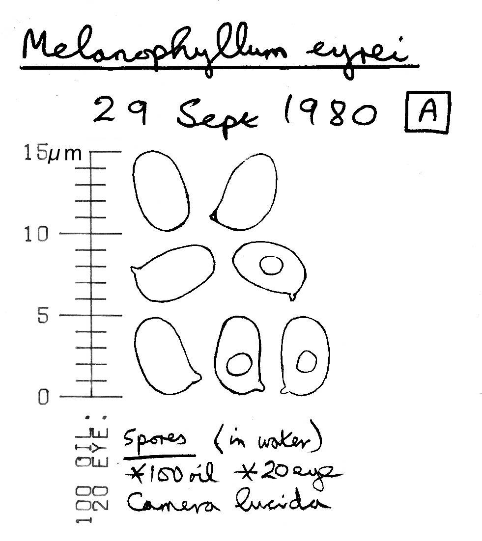 Image of <i>Melanophyllum eyrei</i> (Massee) Singer 1951