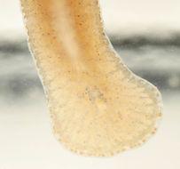 Image of <i>Stylochoplana maculata agg</i>