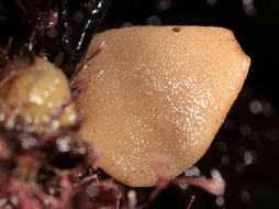 Image of compressed purse sponge