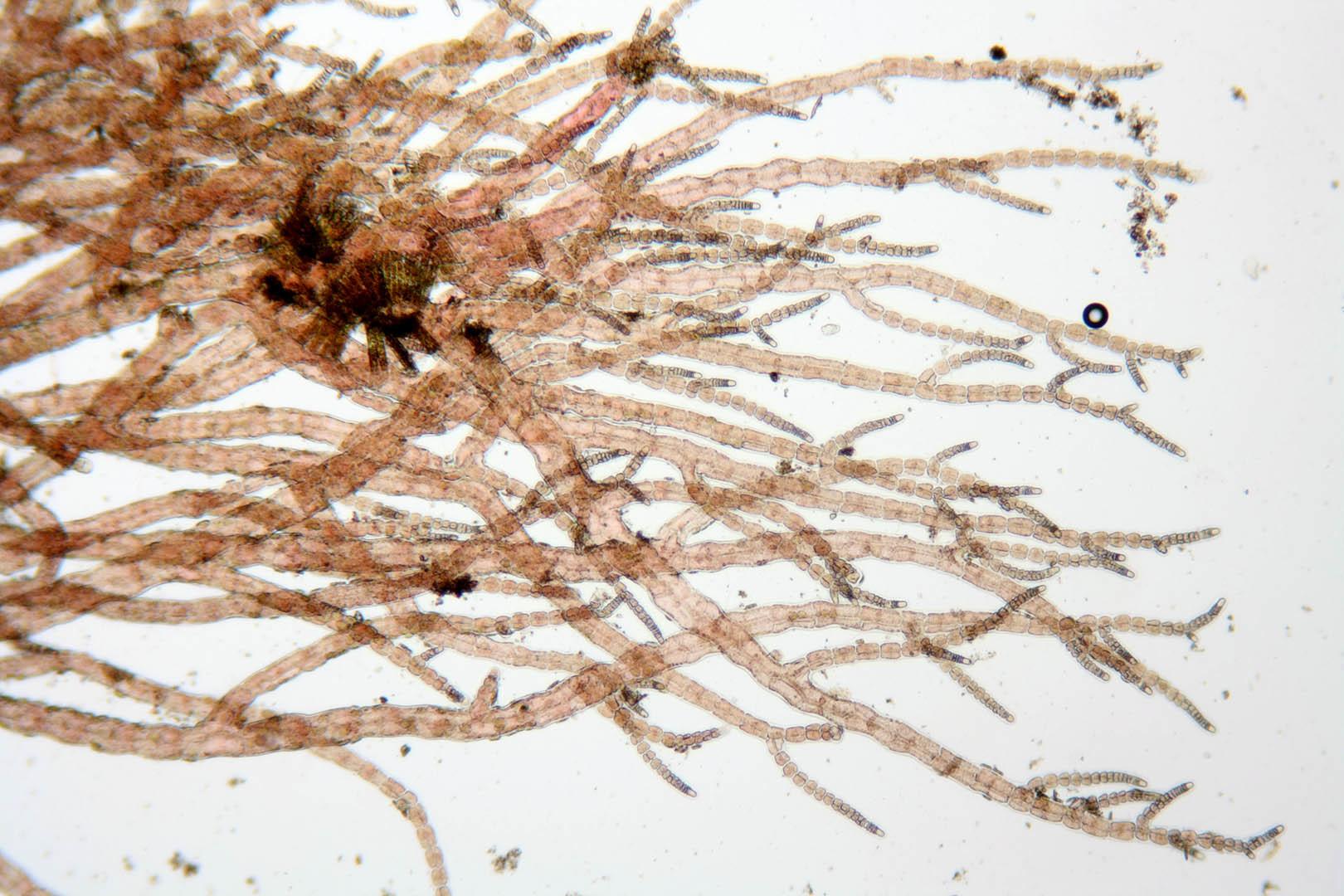 Image of <i>Asparagopsis armata</i>