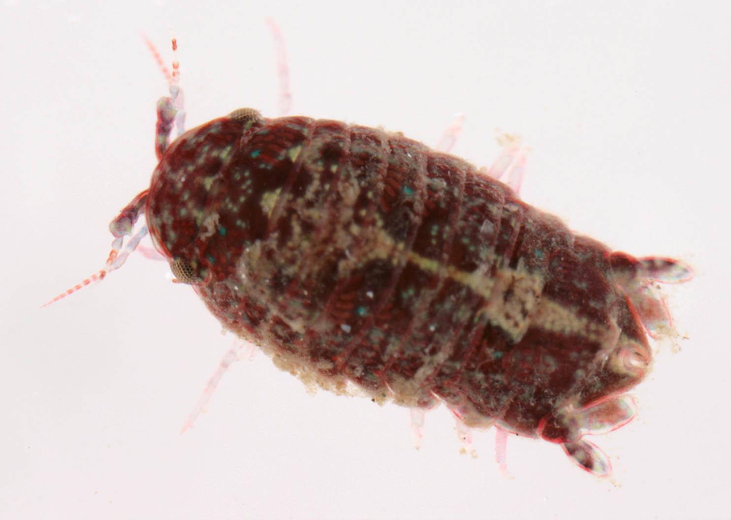 Image of <i>Dynamene magnitorata</i> Holdich 1968