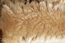 Image of ciliated sponge
