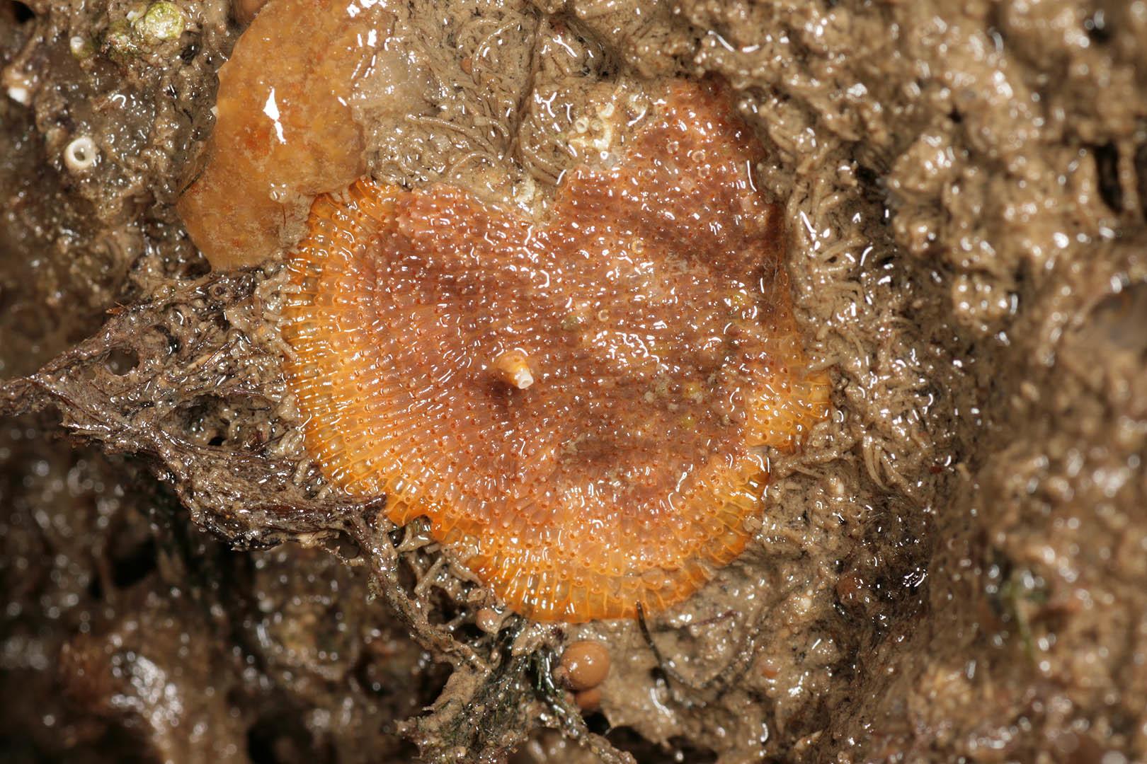 Image of Bryozoan