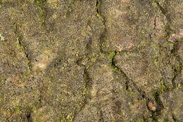 Image of <i>Strigula taylorii</i> (Carroll ex Nyl.) R. C. Harris