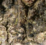 Image of <i>Catillaria nigroclavata</i> (Nyl.) Schuler