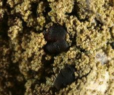 Image of pyrrhospora lichen