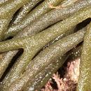 Image of dead man's fingers