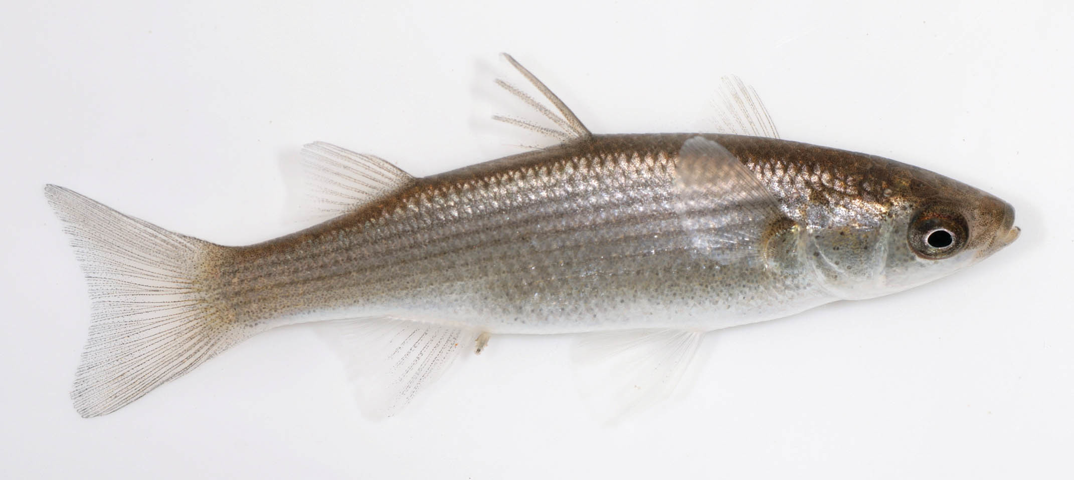 Image of Grey Mullet