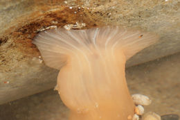 Image of cave-dwelling anemone